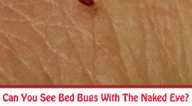 What Do Bed Bugs Look Like To The Human Eye?