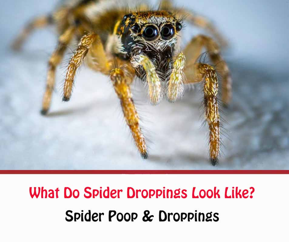 What Do Spider Droppings Look Like?