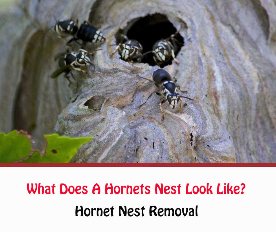 What Does A Hornets Nest Look Like?
