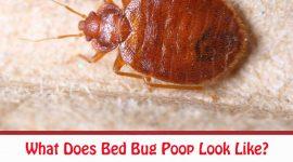 What Does Bed Bug Poop Look Like?