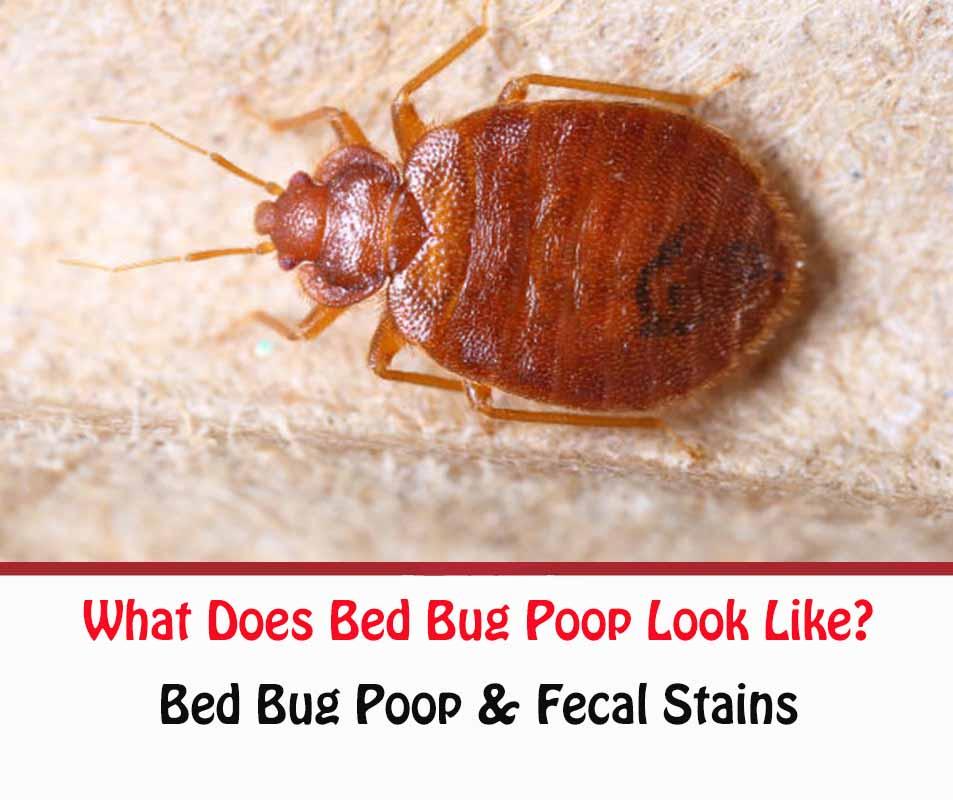 What Does Bed Bug Poop Look Like