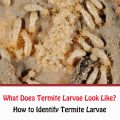 What Does Termite Larvae Look Like?