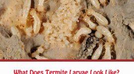 What Does Termite Larvae Look Like?