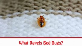 What Repels Bed Bugs?