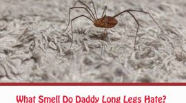 What Smell Do Daddy Long Legs Hate?