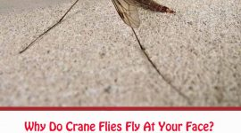 Why Do Crane Flies Fly At Your Face?