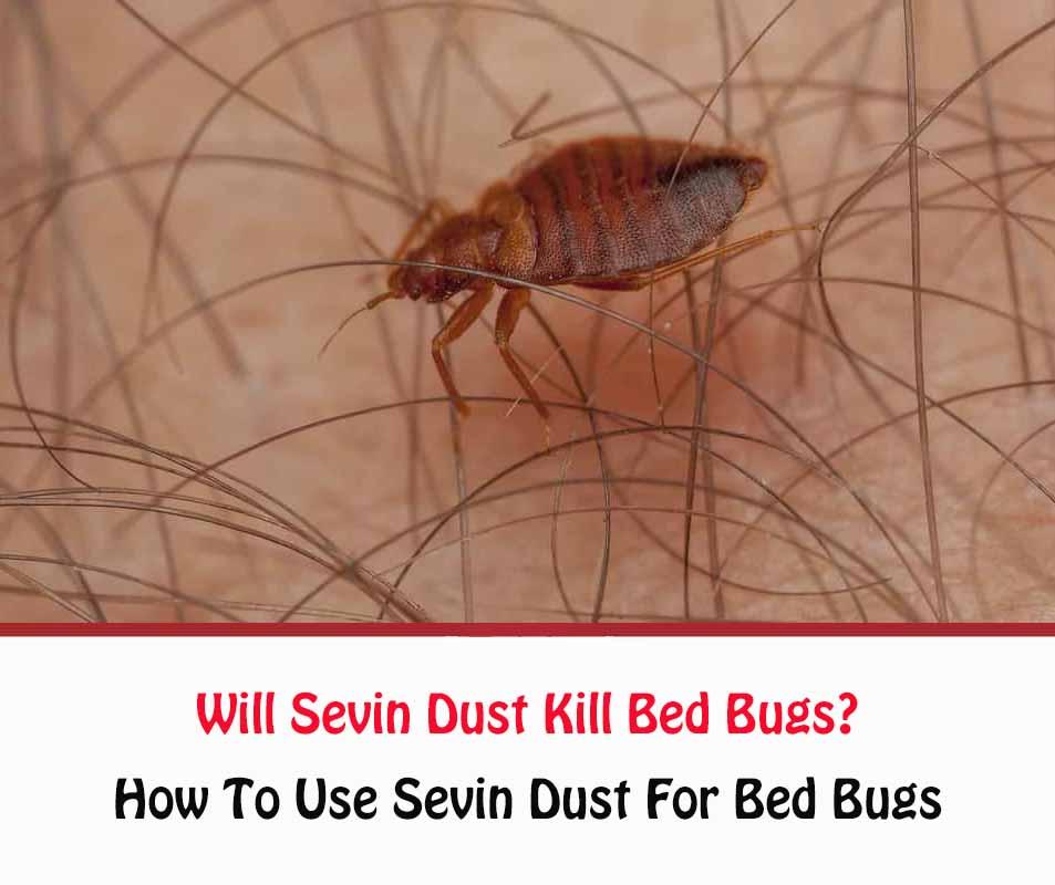 Will Sevin Dust Kill Bed Bugs?