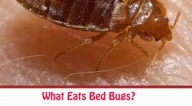What Eats Bed Bugs?