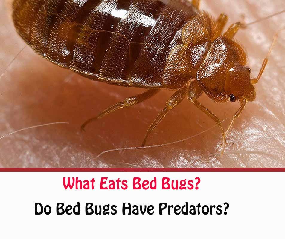 bed bug predators