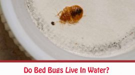Can Bed Bugs Live In Water?