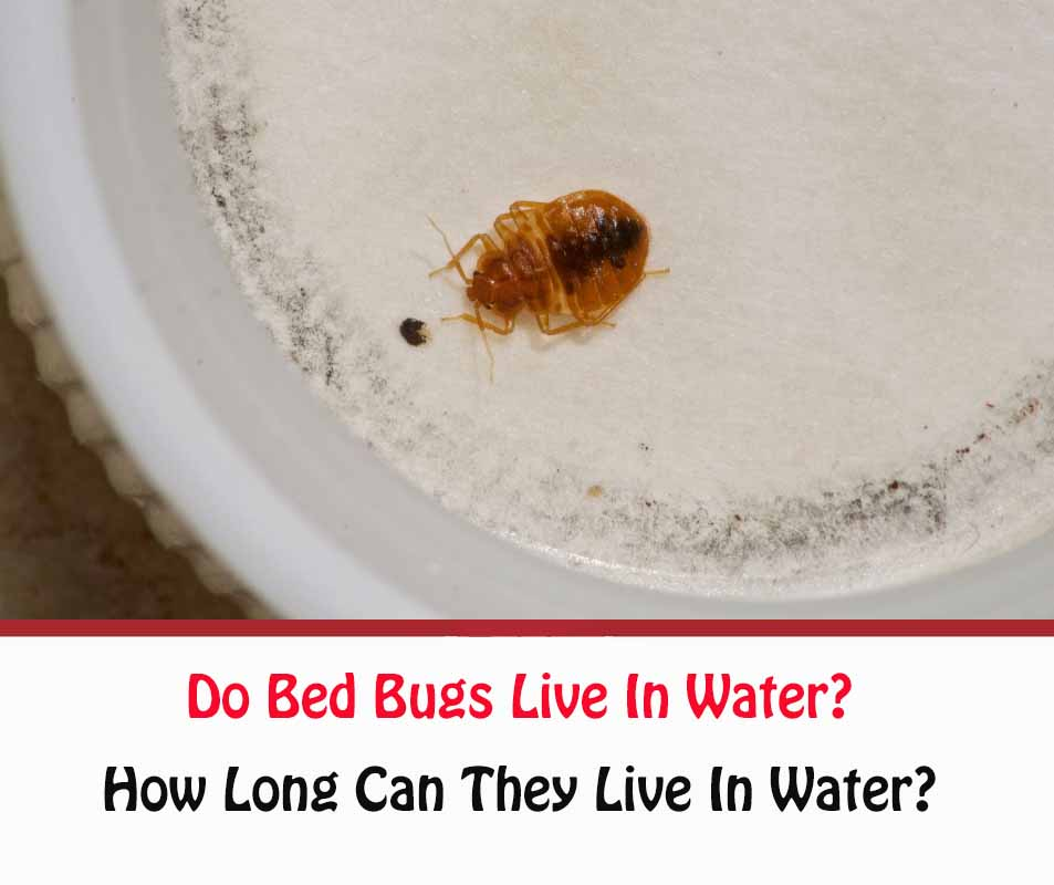 do bed bugs live in water?