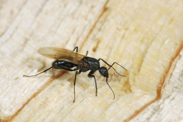 How To Get Rid Of Black Bugs With Wings In House