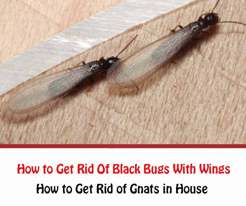 How to Get Rid of Black Bugs With Wings In House Naturally