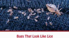 Bugs That Look Like Lice
