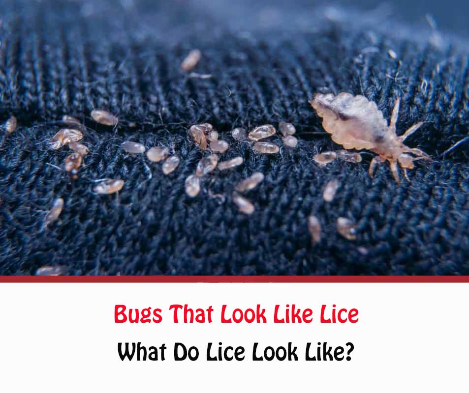 Bugs That Look Like Lice