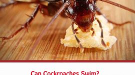 Can Cockroaches Swim?
