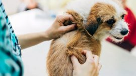 Can Dogs Get Lice from People?
