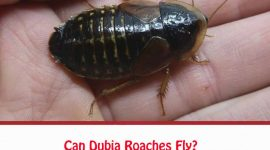 Can Dubia Roaches Fly?