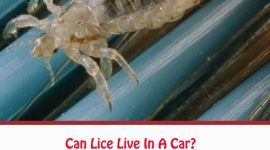 Can Lice Live In A Car?