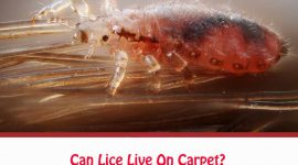 Can Lice Live On Carpet?