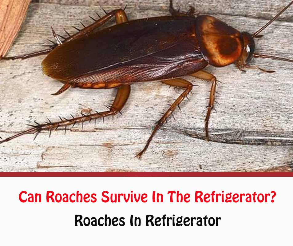 Can Roaches Survive In The Refrigerator?