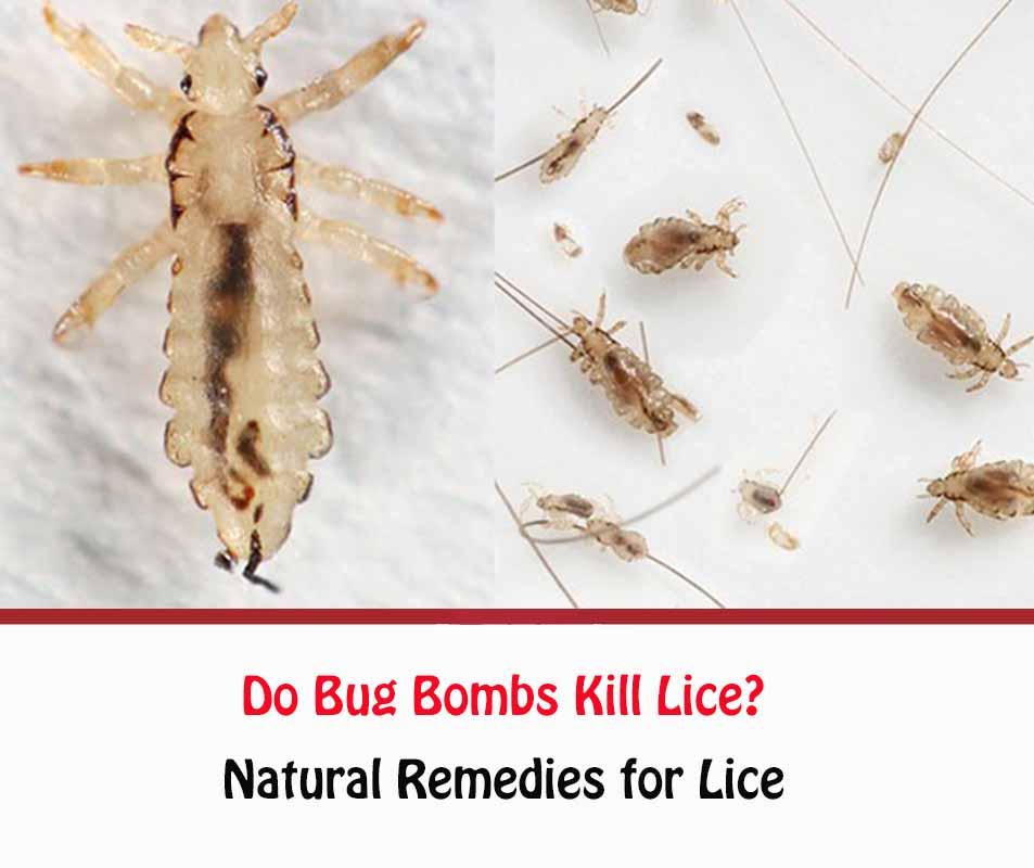 Do Bug Bombs Kill Lice?