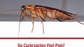 Do Cockroaches Feel Pain?