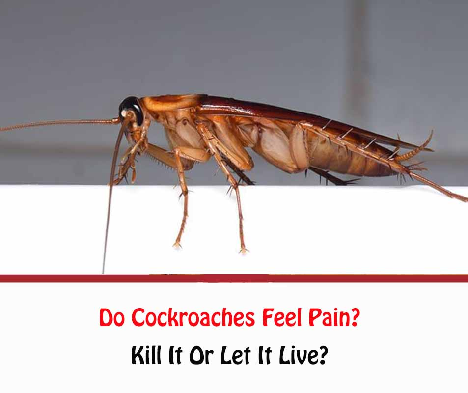 Do Cockroaches Feel Pain?