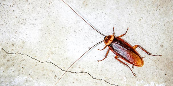 Do Cockroaches Make Noise - Image By learn.allergyandair
