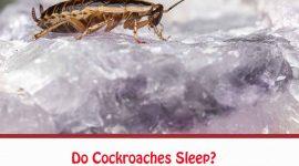 Do Cockroaches Sleep?
