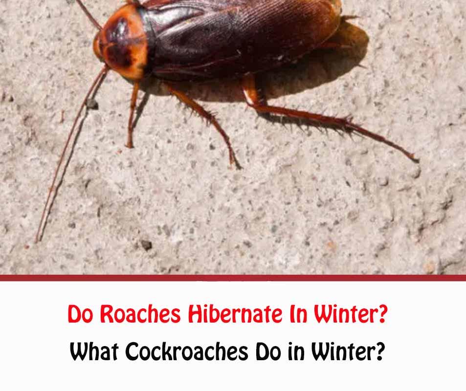 Do Roaches Hibernate In Winter