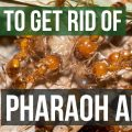 How To Get Rid Of Pharaoh Ants