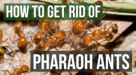 How To Get Rid Of Pharaoh Ants Naturally