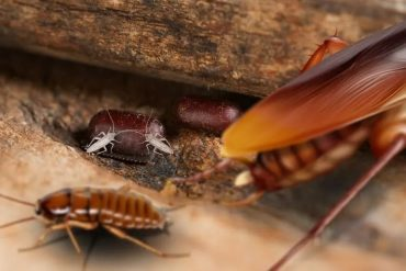 How To Get Rid Of Texas Cockroaches Naturally