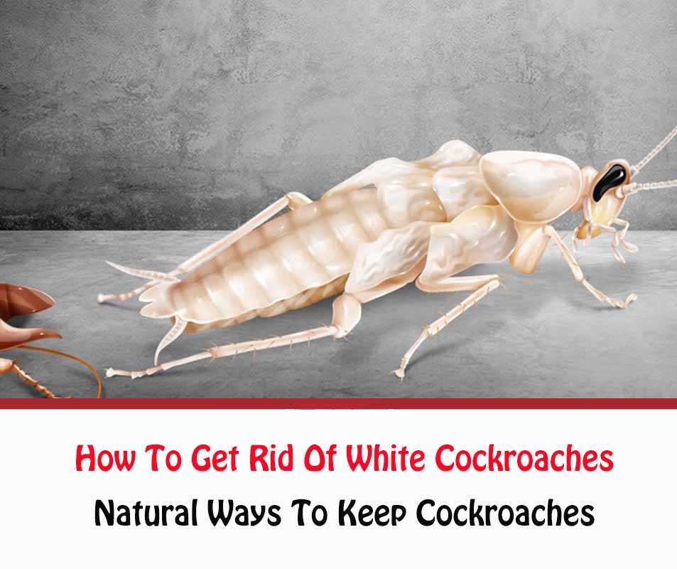 How To Get Rid Of White Cockroaches Naturally