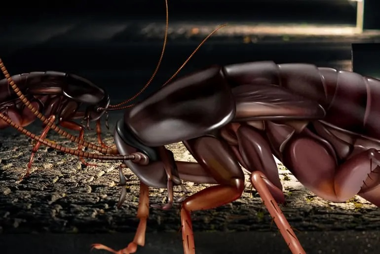 How to Get Rid of Black Roaches Naturally 2020 - Image By cockroachfacts