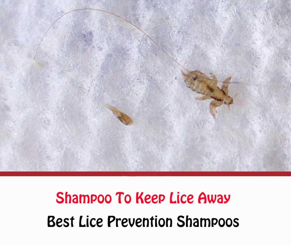 Shampoo To Keep Lice Away