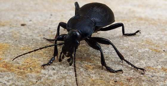Small Black Beetles In House 2020 - Image By bugspray