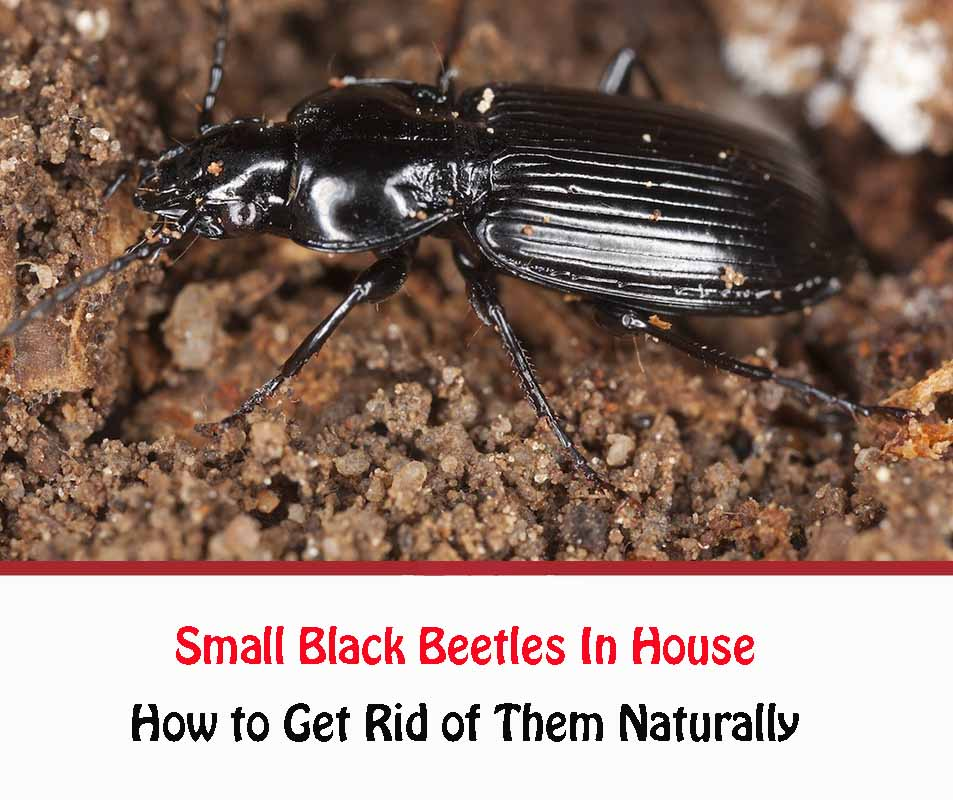 Small Black Beetles In House