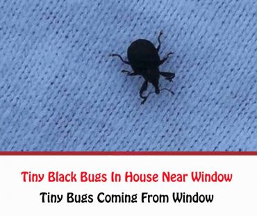 How To Get Rid Of Tiny Black Bugs In House Near Window?