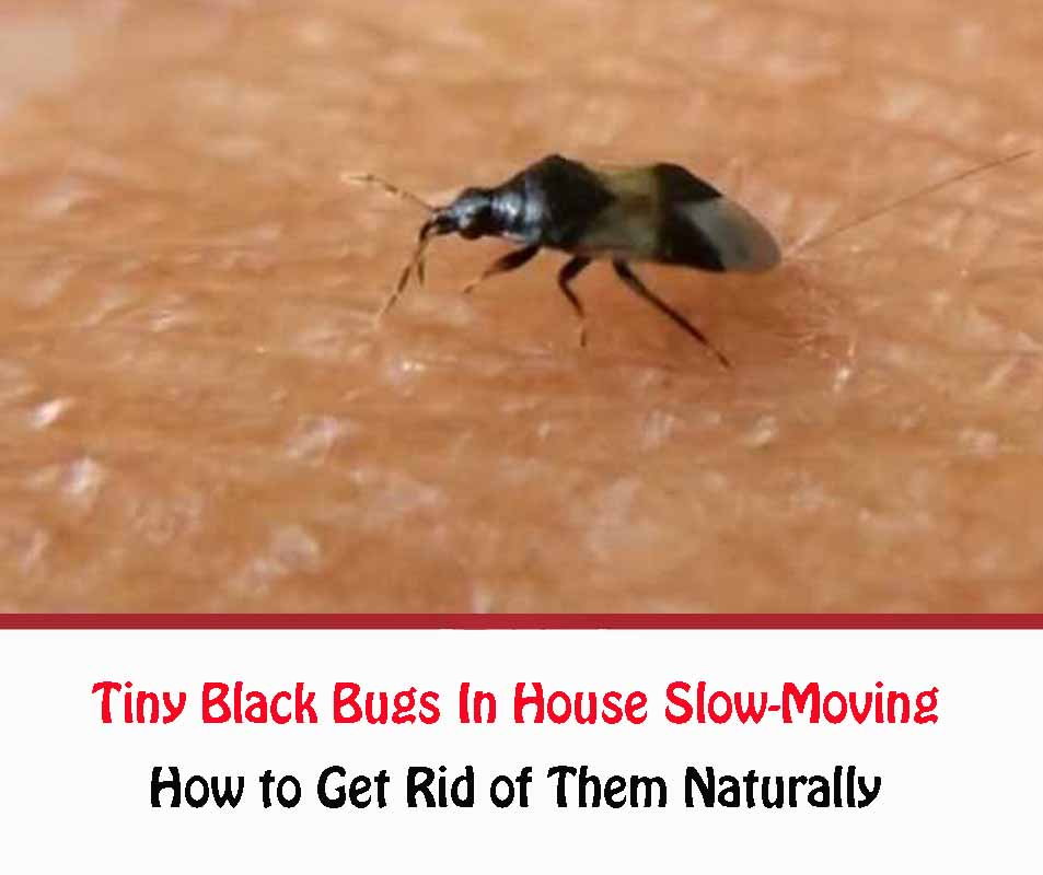 Tiny Black Bugs In House Slow-Moving