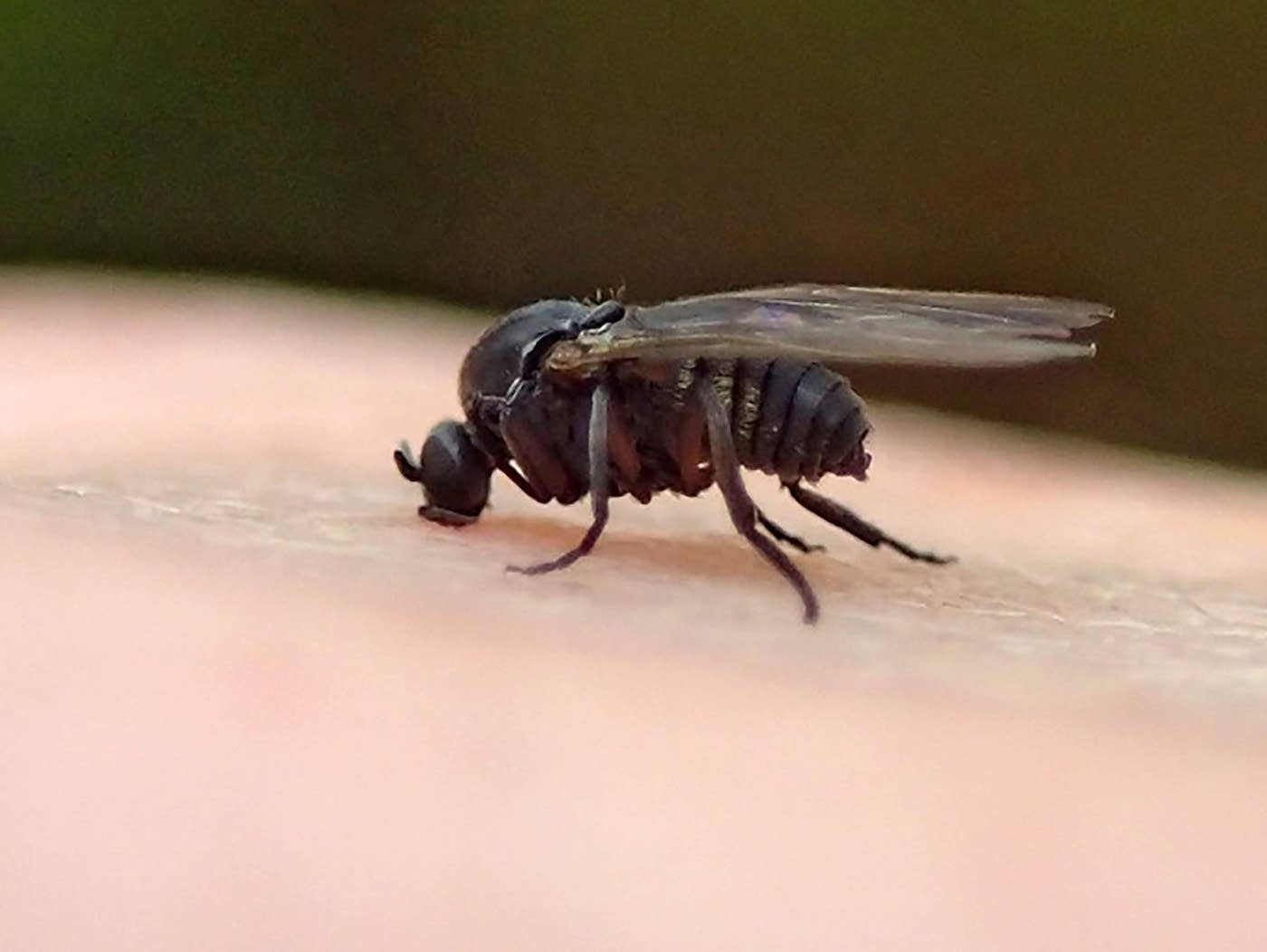 Tiny Black Flying Bugs In House 2020 - Image By mprnews
