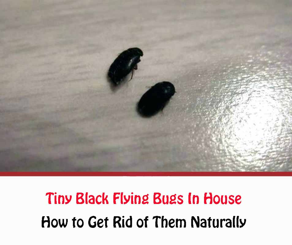 Tiny Black Flying Bugs In House