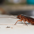 What Diseases Do Roaches Spread 2020 - Image By nozzlenolen