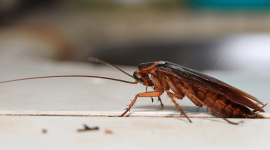 Do Cockroaches Carry Diseases?