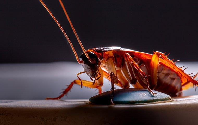 What Do Cockroaches Poop Look Like? - Image By bugheadpest