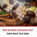 What Do Dubia Cockroaches Eat?