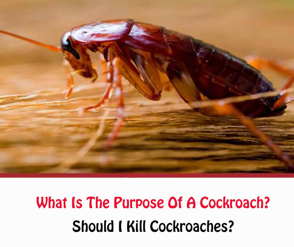 What Is The Purpose Of A Cockroach?