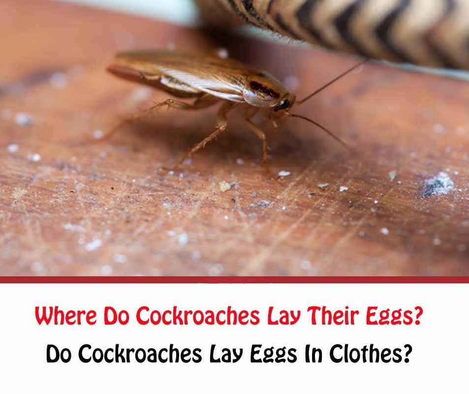 Where Do Cockroaches Lay Their Eggs?