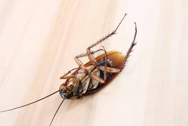 Why Do Roaches Die on their Back?